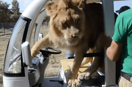 lion jumps into safari vehicle full of tourists